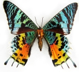 rainbow-tailed-moth-1371822